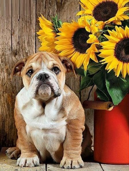 Image of Bulldog ved solsikker