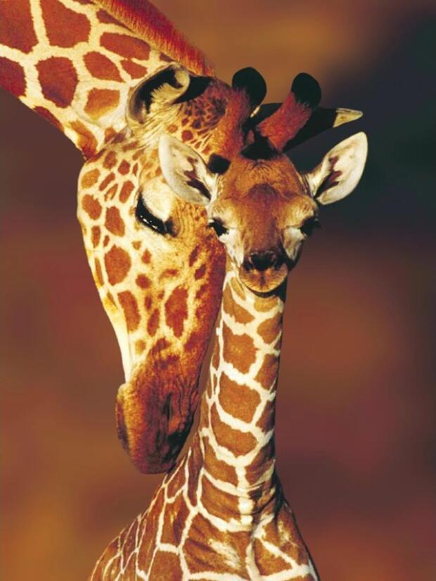 Image of 2 giraffer