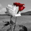 Sort og hvid rose på stilk i diamond paint