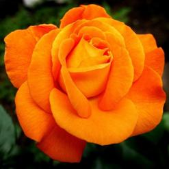 Lys orange rose i diamond paint