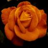 Mørk orange rose i diamond paint