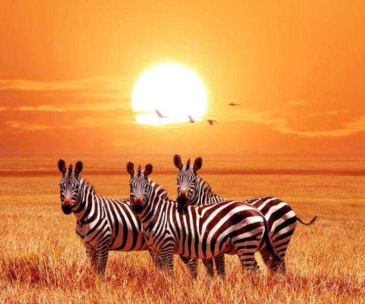 Diamond Painting - 3 Zebraer ved solnedgang thumbnail