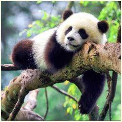 Panda på gren i diamond paint